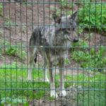 Besuch bei den Wölfen im Wolfcenter